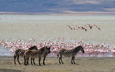 Zebras and flamingos